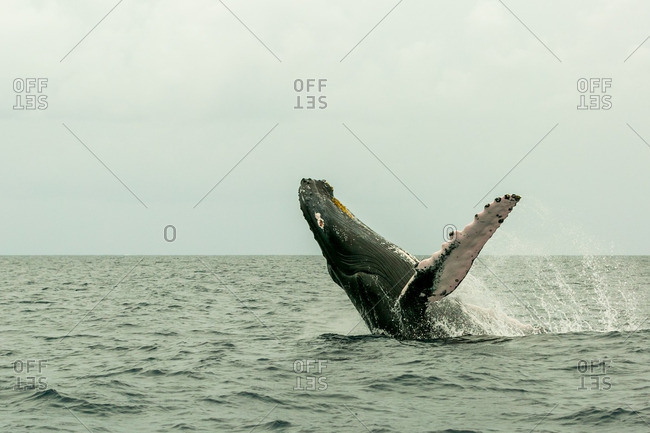 Humpback Whale splashing off the coast of the Dominican Republic
