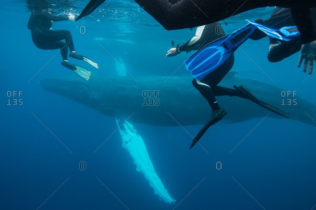 Scuba divers swimming with a Humpback Whale