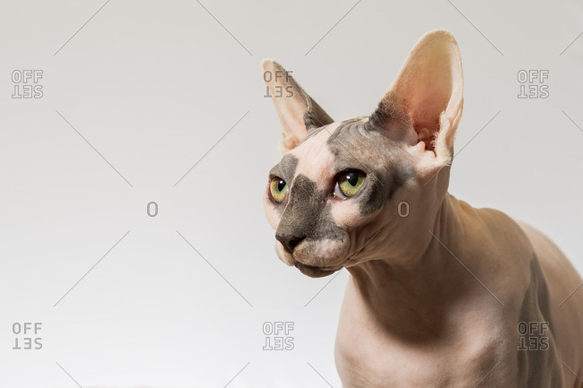 Close up of a Sphynx cat ready to pounce