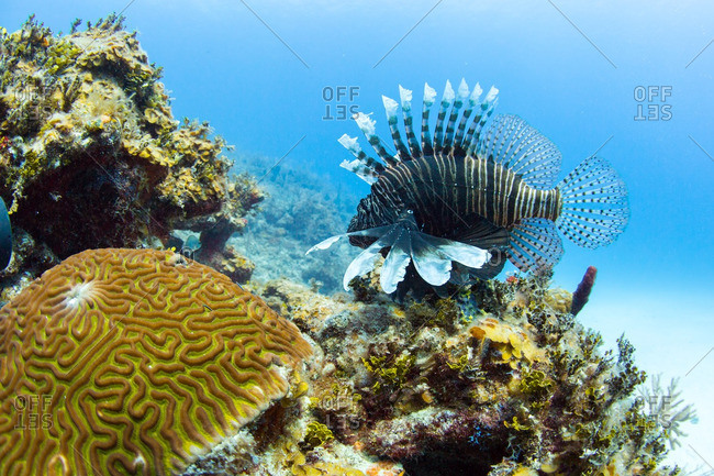 Coral reef scene with Lionfish in Cuba