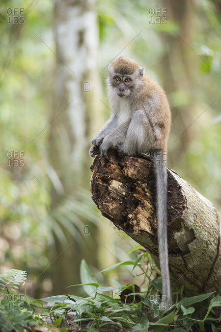Long tailed Macaque (Macaca Fascicularis) in the jungle at Bukit Lawang, Gunung Leuser National Park, North Sumatra, Indonesia, Southeast Asia, Asia