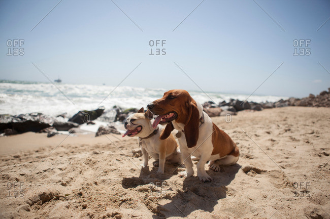 Dogs panting together on beach
