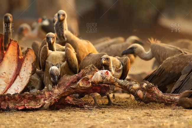 White-backed vultures, Gyps africanus, feeding on buffalo carcass