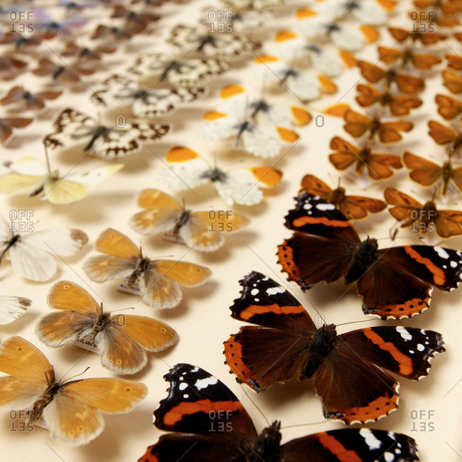 Collection of butterflies - Offset Collection
