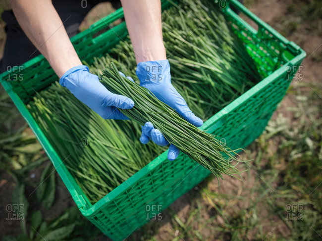 Female farm worker holding freshly cut chives on herb farm, close up
