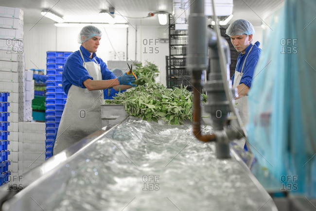 Workers washing herbs in packing plant on herb farm