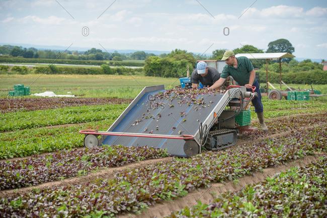 Workers using salad leaf harvesting machine on herb farm