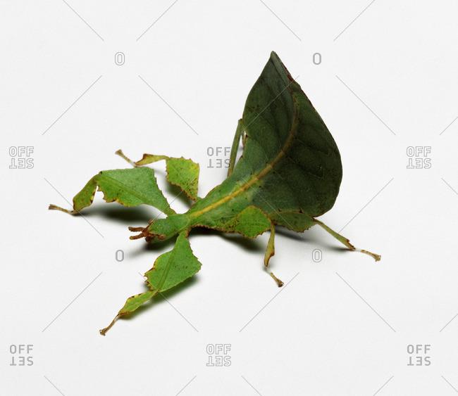 Leaf Insect, studio shot - Offset
