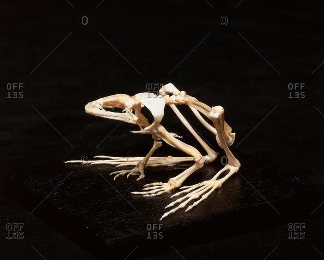Frog skeleton, studio shot