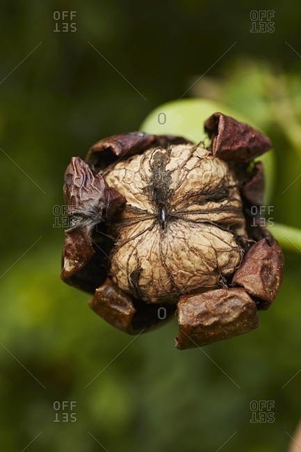 A walnut hanging on a tree