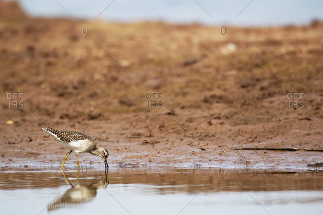 Wood sandpiper at Xuanthuy National Park, Vietnam