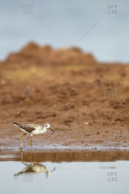 Wood sandpiper walking in pool of water at Xuanthuy National Park, Vietnam