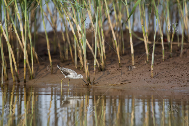 Wood sandpiper walks among reeds at water's edge