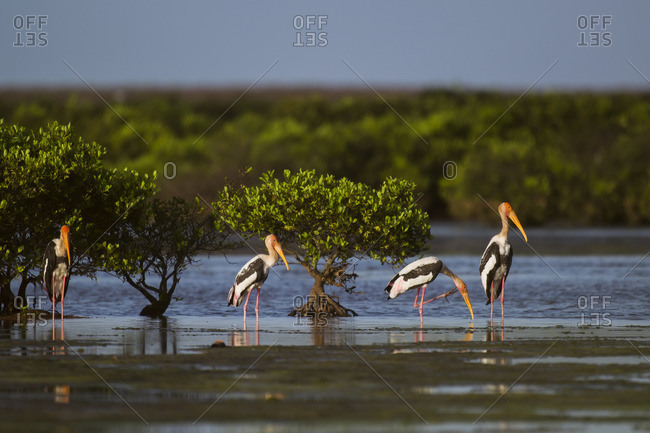 A family of painted stork in water at Xuanthuy National Park, Vietnam