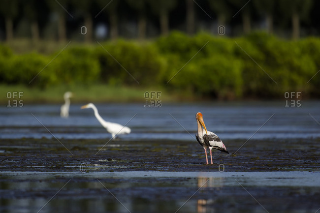 A painted stork with other water birds in wetlands at Xuanthuy National Park, Vietnam