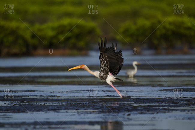 Painted stork taking off from water at Xuanthuy National Park, Vietnam