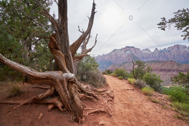 An old weathered tree along a hiking trail in Zion National Park, Utah