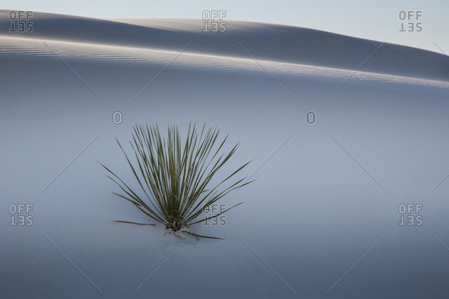 Yucca plant on shaded dune in White Sands National Monument