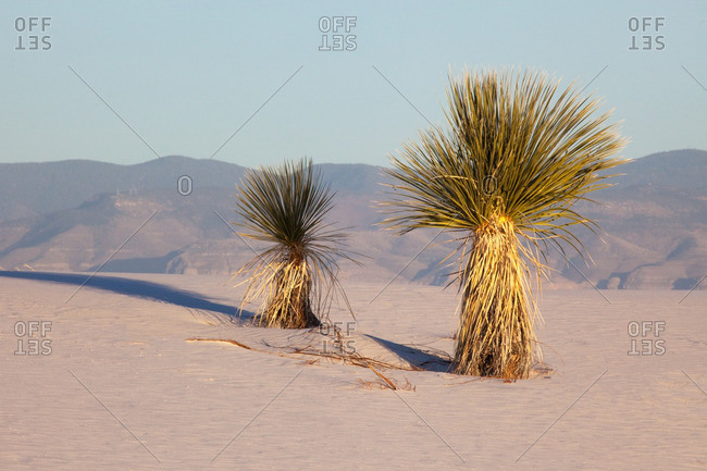 Sacramento Mountains and two yucca plants in White Sands National Monument