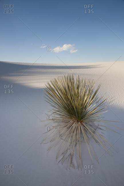 Yucca plant on shaded dune with solitary cloud in White Sands National Monument