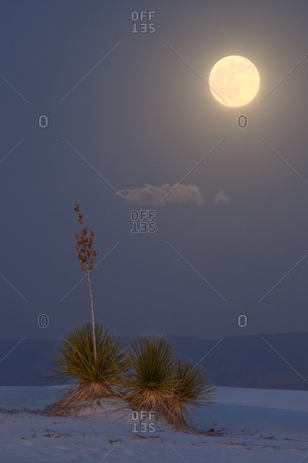 Full moon above Sacramento Mountains and two yucca plants in White Sands National Monument