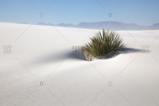 Yucca plant in sand storm in White Sands National Monument