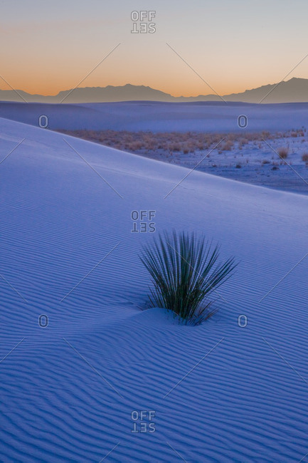 Evening twilight with yucca plant on wind rippled dune in White Sands National Monument