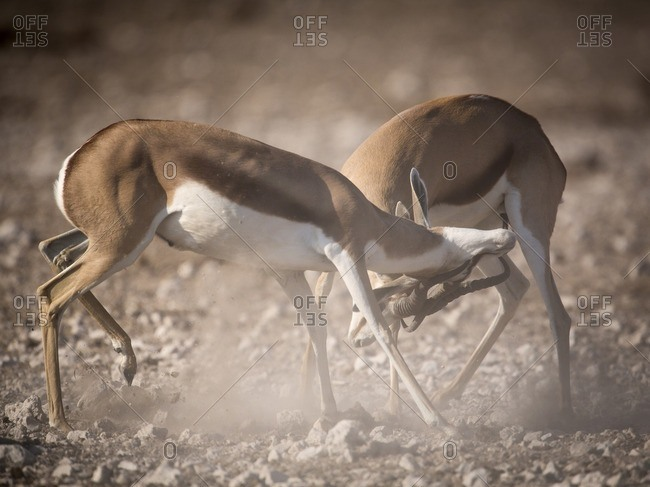 Impala bucks fighting each other on a dusty African plain