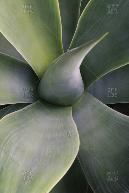 Close up of succulent yucca plant leaves