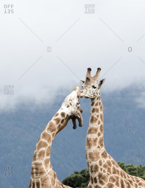 Giraffes in California