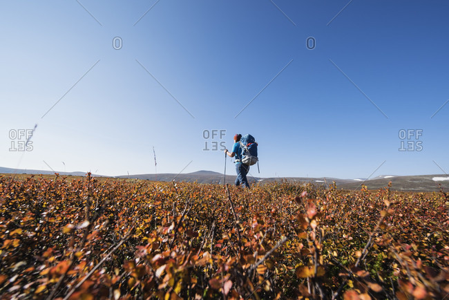 Single hiker hiking through autumn colored landscape south of Saltoluokta Fj_llstation, Kungsleden trail, Lapland, Sweden