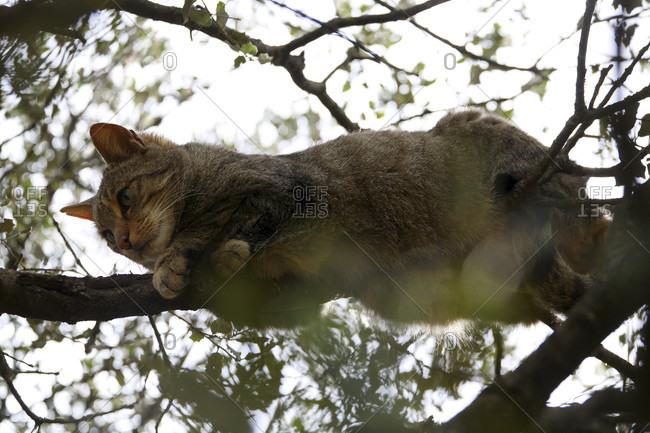 Wildcat (Felis silvestris) in Monfragye National park, caceres, extremadura, spain