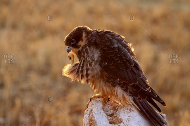 Hobby Falco subbuteo, juvenile: Monfragye National park Caceres Extremadura Spain