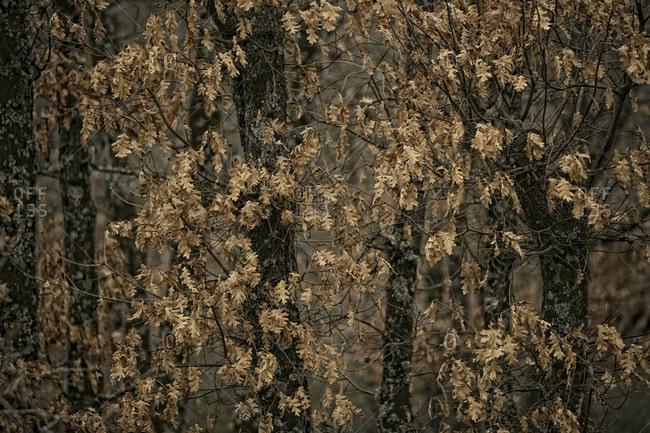 Pyrenean oak forest in Valverde de los Arroyos, Guadalajara, Castilla la Mancha, Spain