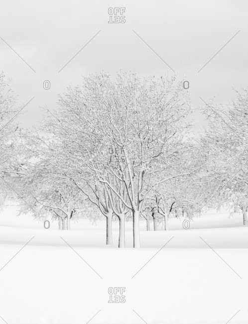 Deciduous tree grove covered in snow