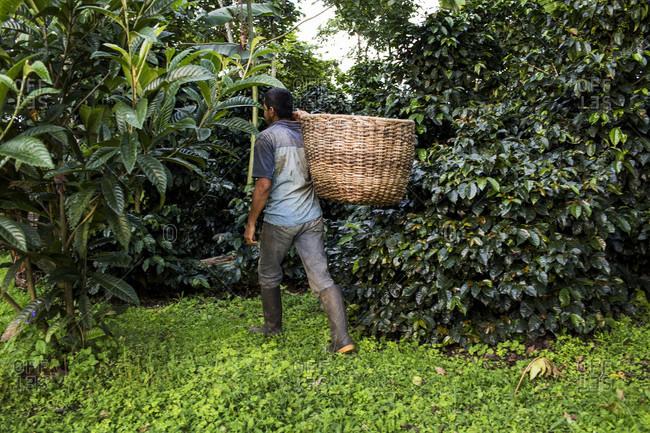 A man carries a basket of freshly harvested coffee beans on a farm in rural Colombia