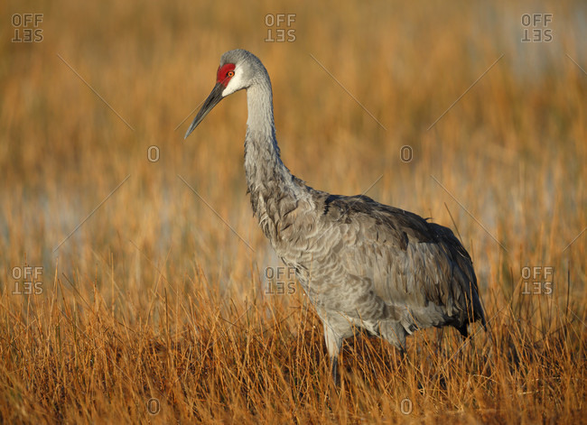 Sandhill Crane from the Offset Collection