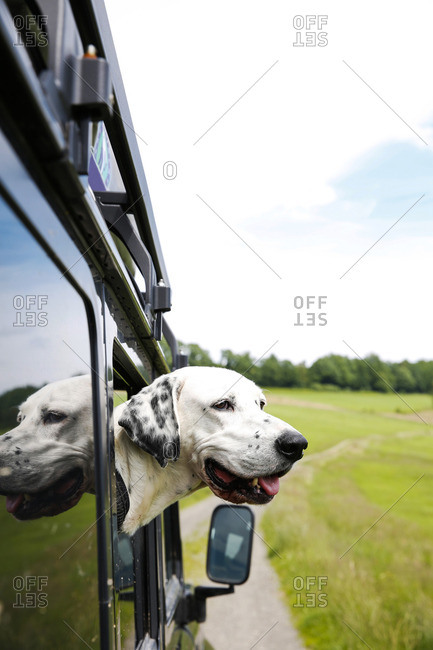 Mongrel looking out of window of off-road vehicle