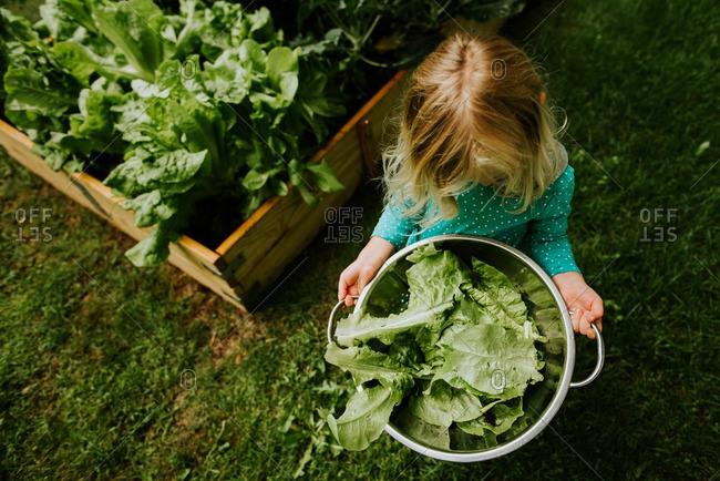 Little girl picking lettuce leaves from a garden