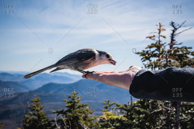 Bird landing on a persons hand eating a nut