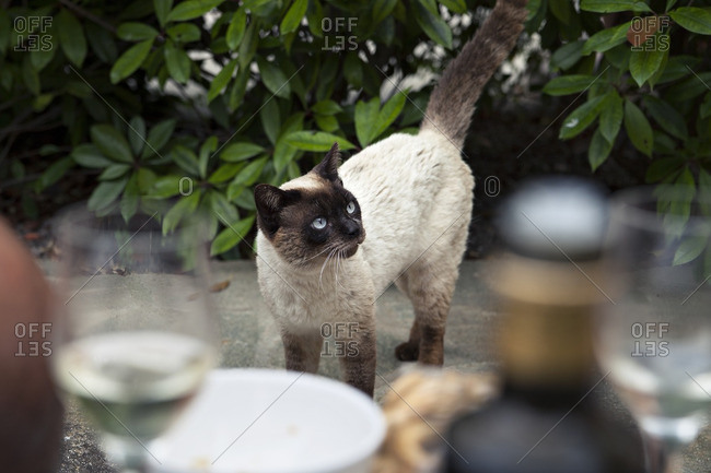 Siamese stray cat standing by a bush