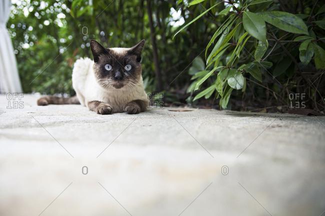 Siamese cat sitting by a green bush