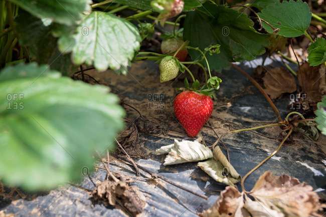 Close-up of a strawberry patch