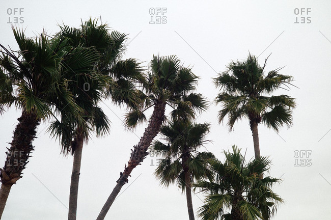 Palm trees in Santa Cruz, California