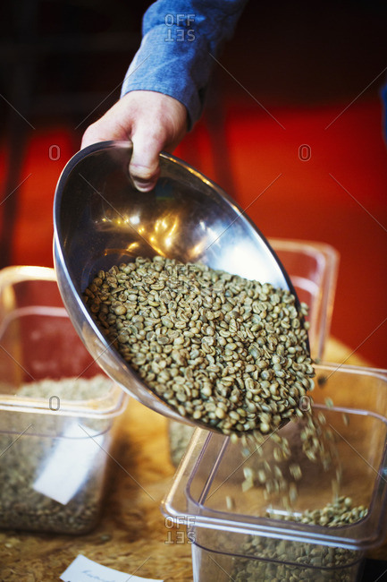 A person pouring green natural state coffee beans into a tub