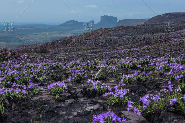Regrowth of purple flowers growing in Brazil after a wildfire