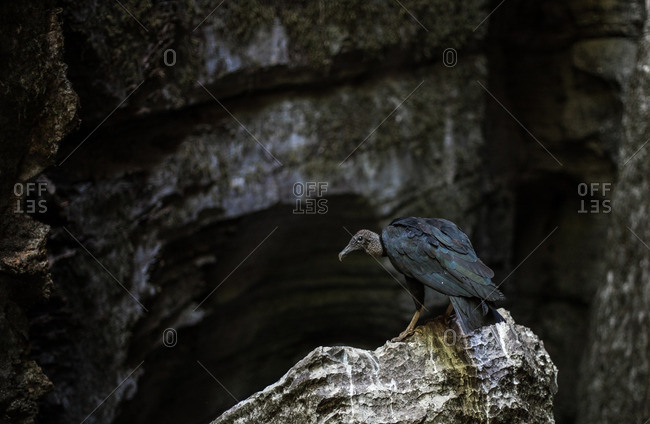 Vulture perched on a rock in a cave