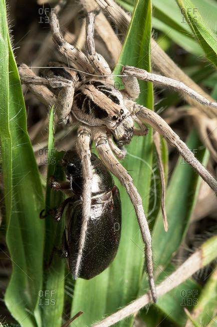 White wolf spider preparing to eat a cricket