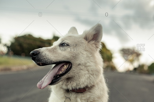 Portrait of a panting white dog