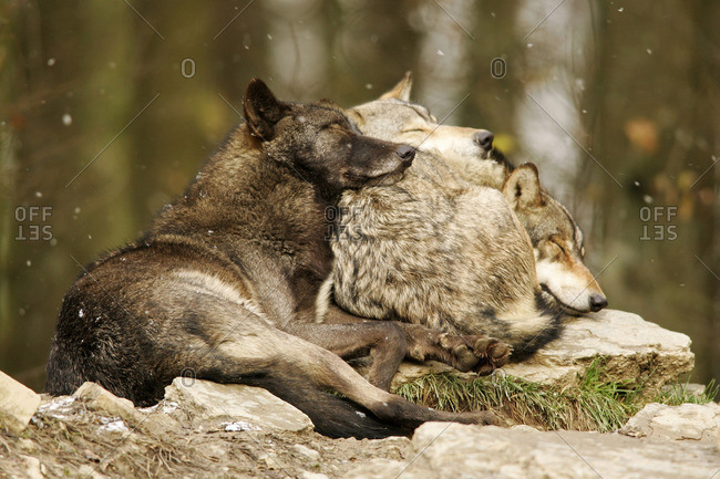 Gray wolves sleeping together